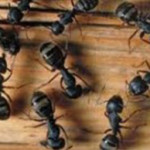 carpenter-ants-new