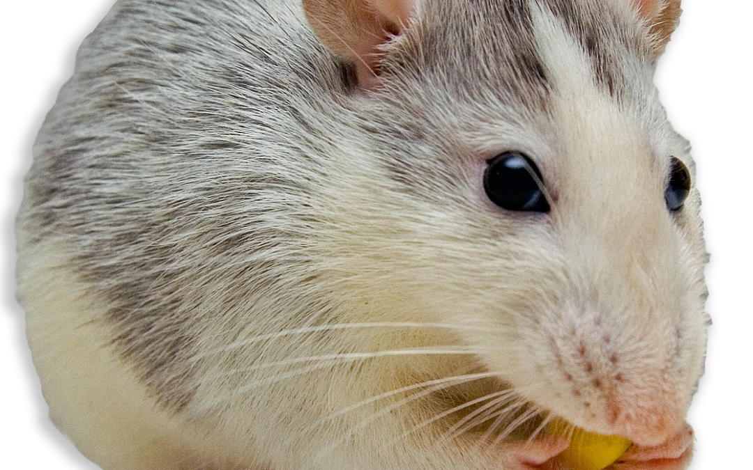 5 Signs You May Have Mice | Sachem Pest
